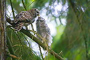 A barred owl (Strix varia) mother shares a tender moment with one of her owlets in the forest of Yost Park in Edmonds, Washington.