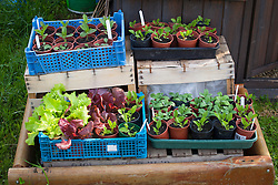 Trays of young flower and salad seedlings hardening off in crates by greenhouse