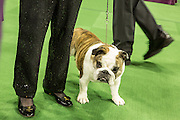 New York, NY - 16 February 2016. A bulldog waits for its turn at the 140th Westminster Kennel Club Dog show in Madison Square Garden.
