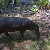 This Brazilian Tapir lives in the care of Pilpintuwasi Butterfly Farm and Amazon Animal Orphange near Iquitos, Peru.