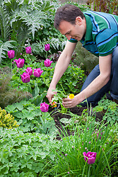 Hand weeding a dandelion in a border using a hand fork. Taraxacum