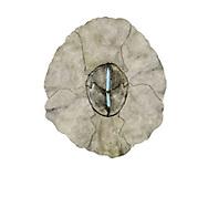 Poli's Stellate Barnacle - Chthamalus stellatus