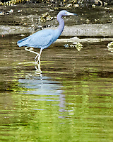 Little Blue Heron (Egretta caerulea). Weedon Island. Pinellas County, Florida. Image taken with a Nikon D300 camera and 80-400 mm VR lens.