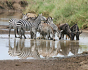 Annual migration of over one million white bearded (or brindled) wildebeest and 200,000 zebras at Serengeti National Park, Tanzania, at a waterhole