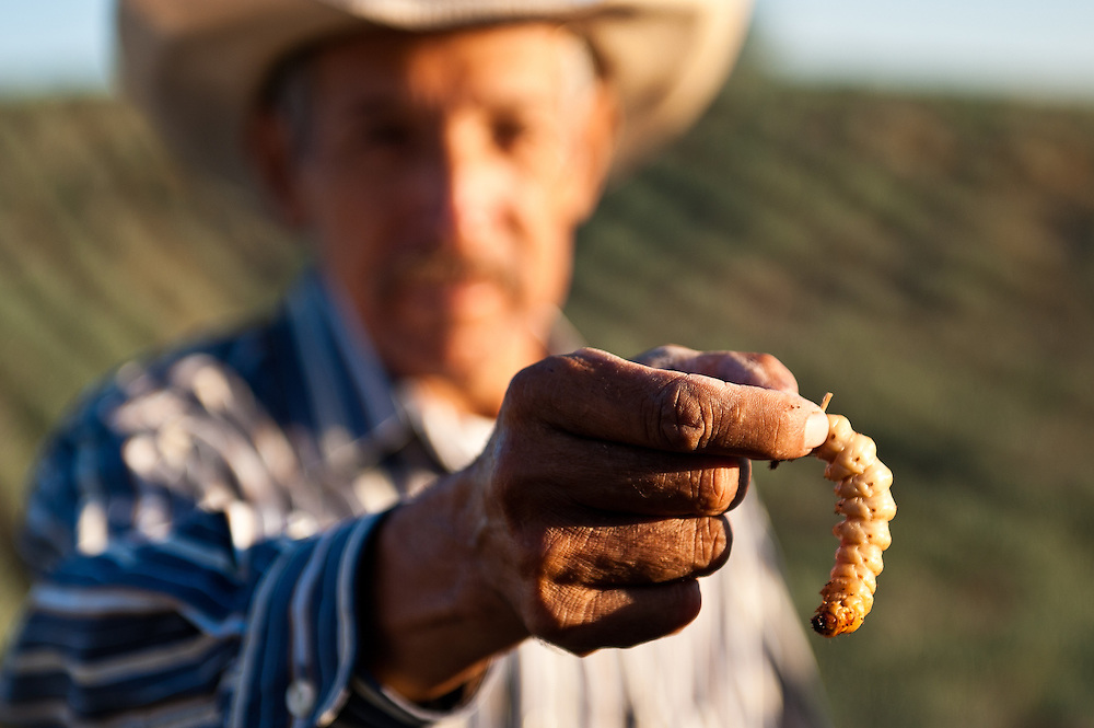 A jimador, whose job is to harvest blue agave plants used to make tequila, holds the grub of a moth called a gusano blanco, a common parasite in blue agave and a traditional protein source among regional indigenous peoples.