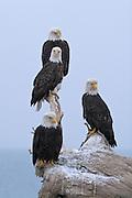 Bald Eagle, Haliaeetus leucocephalus, four mature eagles on stump, Kenai Peninsula, Homer Spit, Homer, Alaska. Digital orginal, #2006_0416 ©Robin Brandt