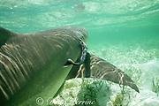 remora ( sharksucker), Echeneis naucrates, swims into gill slit of lemon shark, Negaprion brevirostris, to hide when danger approaches, Bimini, Bahamas ( Western Atlantic Ocean )