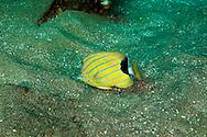 Bluestripe Butterflyfish, Chaetodon fremblii, Maui Hawaii