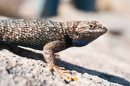 A male Western Fence Lizard  (Sceloporus occidentalis) in Malheur National Wildlife Refuge, Harney County, Oregon.
