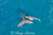 aerial view of humpback whales, Megaptera novaeangliae, mother and calf resting at surface, West Maui, Hawaii, Hawaii Humpback Whale National Marine Sanctuary, USA ( Central Pacific Ocean )