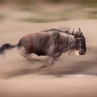 A wildebeest on the move in Serengeti National Park, Tanzania.
