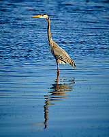 Great Blue Heron at Fort De Soto park. Image taken with a Fuji X-H1 camera and 200 mm f/2 OIS lens + 1.4x teleconverter (ISO 200, 280 mm, f/4, 1/800 sec).
