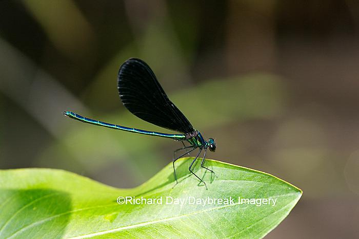 06014-001.10 Ebony Jewelwing (Calopteryx maculata) male, Lawrence Co. IL