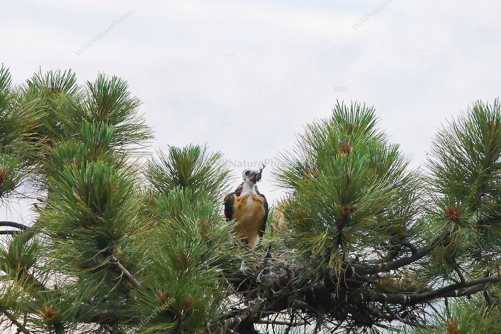 Short-tailed Hawk (Buteo brachyurus) nestling, trying to swallow a small bird prey item, with bird's feet sticking out of nestling's mouth; Arizona (Nesting Record)