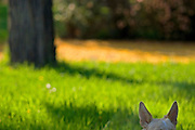Dog's ears with an out of focus background of grass and trees in