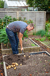 Lifting potatoes in the vegetable garden