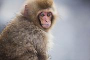 An infant snow monkey (Macaca fuscata) sitting on edge of hot spring in the winter, Jigokudani, Yamanouchi, Japan