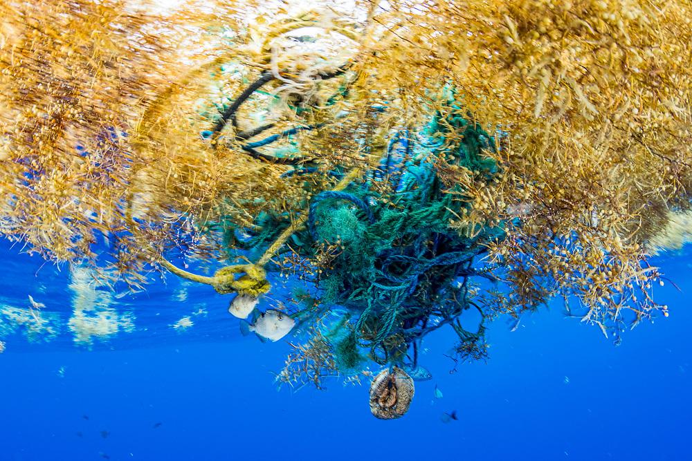 Triggerfish hide under a tangle of plastic fishing gear and sargassum seaweed in the Sargasso Sea, Atlantic Ocean, International Waters.