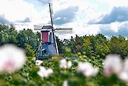 Nederland, Persingen, 6-7-2016Thornse Molen in volle glorie hersteld . In de oorlog, wo2, 2e wereldoorlog werd hij in puin geschoten tijdens de bevrijding van de ooijpolder en nijmegen er wordt weer graan gemalen .FOTO: FLIP FRANSSEN