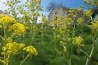 Apulia; cultivated landscape; Ferula communis; Gargano National Park; Gargano Peninsula; Giant Fennel; Italy