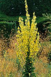 Verbascum olympicum rising above Stipa gigantea at Great Dixter