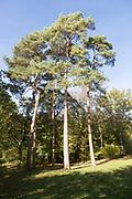 Scots pine trees, Pinus sylvestnis, National arboretum, Westonbirt arboretum, Gloucestershire, England, UK