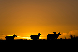 © Licensed to London News Pictures. 27/09/2020.  Builth Wells, Powys, Wales, UK.Sheep are silhouetted against the sunrise on the Mynydd Epynt moorland near Builth Wells after temperatures dropped to around 2.5 deg C last night near  in Powys, UK. Photo credit: Graham M. Lawrence/LNP