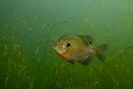 Bluegill<br /> <br /> Engbretson Underwater Photography