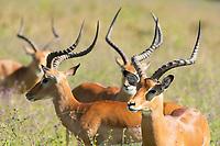Common Impalas, Aepyceros melampus melampus, in Lake Nakuru National Park, Kenya