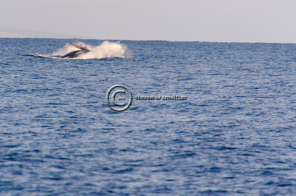 Humpback Whale Breaching 8 of 9, Maui Hawaii