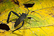 Leaf-footed Bug (Coreidae)(Hemiptera)<br /> Yasuni National Park, Amazon Rainforest<br /> ECUADOR. South America