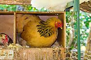 A chicken coop in a garden in Eugene, Oregon