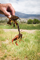 Close-up of man's hand holding two crawfish, one gripping the other with its claw, Owens River, Eastern Sierras, California.