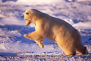 01874-08305 Polar Bear (Ursus maritimus) pouncing  Churchill  MB