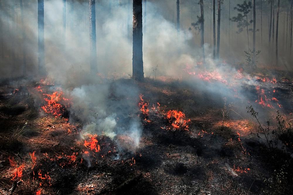 Prescribed burn, longleaf pine forest restoration