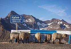 THEMENBILD - Schafe schauen unter einer Leitplanke durch. Die Grossglockner Hochalpenstrasse verbindet die beiden Bundeslaender Salzburg und Kaernten mit einer Laenge von 48 Kilometer und ist als Erlebnisstrasse vorrangig von touristischer Bedeutung, aufgenommen am 06. August 2018 in Fusch an der Glocknerstrasse, Österreich // Sheep look under a guardrail. The Grossglockner High Alpine Road connects the two provinces of Salzburg and Carinthia with a length of 48 km and is as an adventure road priority of tourist interest, Fusch an der Glocknerstrasse, Austria on 2018/08/06. EXPA Pictures © 2018, PhotoCredit: EXPA/ Stefanie Oberhauser