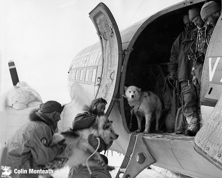 Loading NZARP Southern Party dogs into R4D 1962 at Willams Field ice run way, McMurdo Sound Photo: Howard O'Kane.