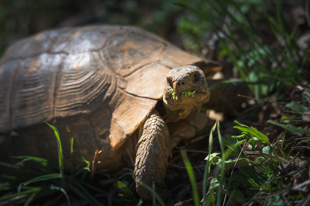 Wild greek tortoise (spur-thighed tortoise)