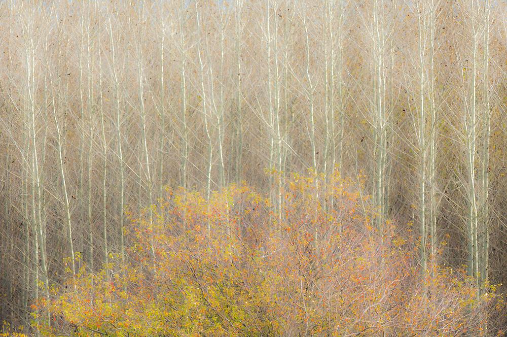 Cottonwood trees plantation and wild rose shrub, overcast light, October, Skagit River Valley, Washington, USA