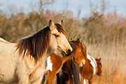A stallion watches over several Chincoteague ponies (Equus caballus), also known as Assateague horses, in a marsh on Assateague Island in the Chincoteague National Wildlife Refuge in Virginia. About 300 wild — technically feral — ponies roam the island on the Atlantic coast. There is some dispute as to how the ponies ended up on the island. Some researchers believe the ponies are survivors of the wreck of a Spanish galleon, La Galga, which sank just off the coast in 1750; the U.S. Fish and Wildlife Service believes they are descendants of horses owned by early colonial settlers.