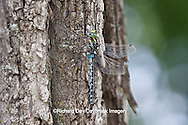 06347-001.03 Lance-tipped Darner dragonfly (Aeshna constricta) male on tree, McHenry Co,. IL