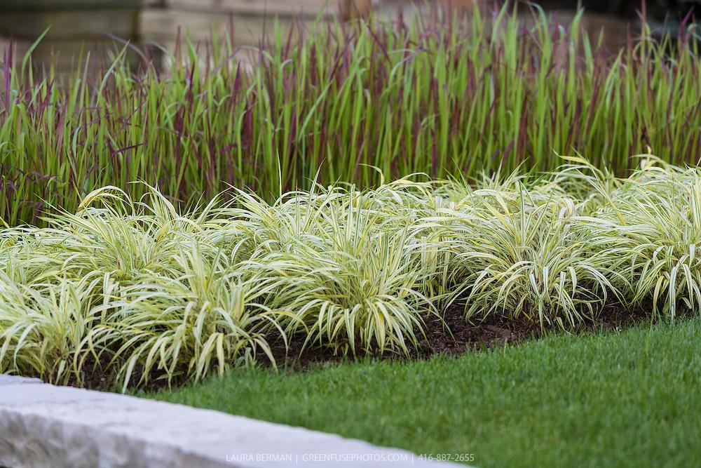 Golden Japanese Forest Grass (Hakonechloa macra 'Aureola')