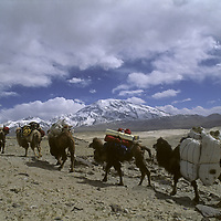 A Kyrgiz nomad leads Bactrian a camel train carrying equipment for a  group trekking the in Pamir Mountains of Xinjiang, China.  7546-meter Mustagh Ata rises in the background.