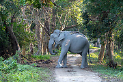Wild Indian elephant (Elephas maximus indicus) crossing the road in the forest of Kaziranga National Park, Assam, north-east India.