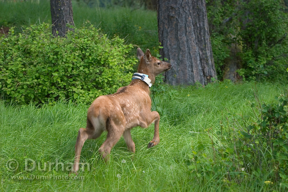 A ten day old elk calf freshly released after being caught by ODFW biologists in the Sled Springs Elk Research Area. The calf is outfitted with a radio collar to allow biologists to track its movements and monitor its health as part of an elk predation study.