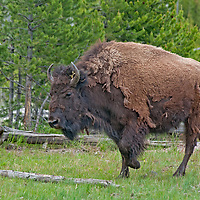 An American Bison (Bison bison) walks through a Lodgepole Pine Grove in Yellowstone National Park, Wyoming.