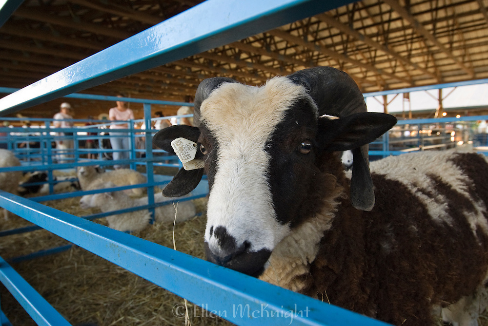 A Jacob sheep at the Dutchess County Fair in Rhinebeck, NY. The Jacob is a small to medium size horned sheep which is believed to have originated in Syria several thousand years ago.