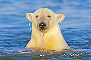 USA, Alaska, Arctic National Wildlife Refuge, A polar bear cub playing in the Arctic Ocean