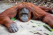 A close-up portrait of an orangutan (Pongo pymaeus) laying on the ground, Tanjung Puting National Park, Central Kalimantan, Borneo, Indonesia