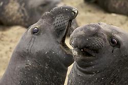 Elephant seals, Piedras Blancas, San Simeon ,CA,